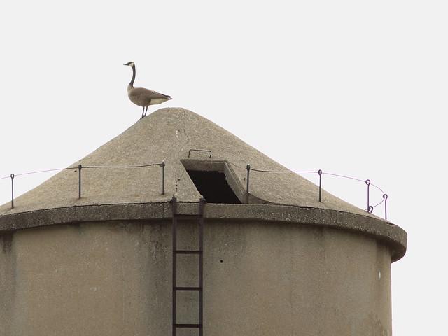 Canada Goose on silo 20130502