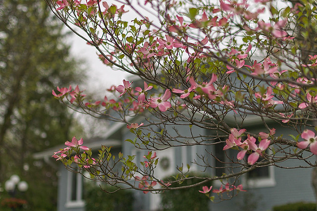 Spring flowers in Webster Groves, Missouri, USA - pink dogwood