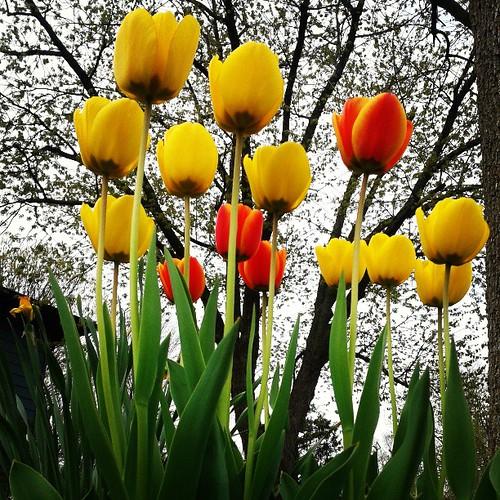 Good morning, tulips