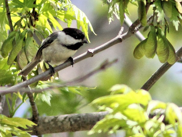 Black-capped Chickadee 20130505