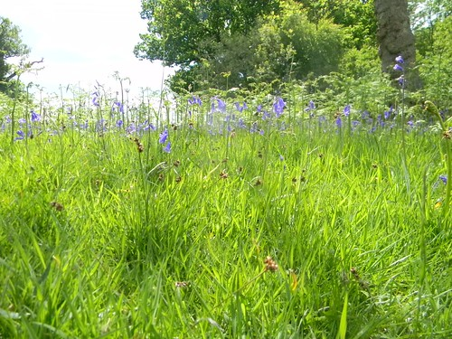 Bluebells in the grass