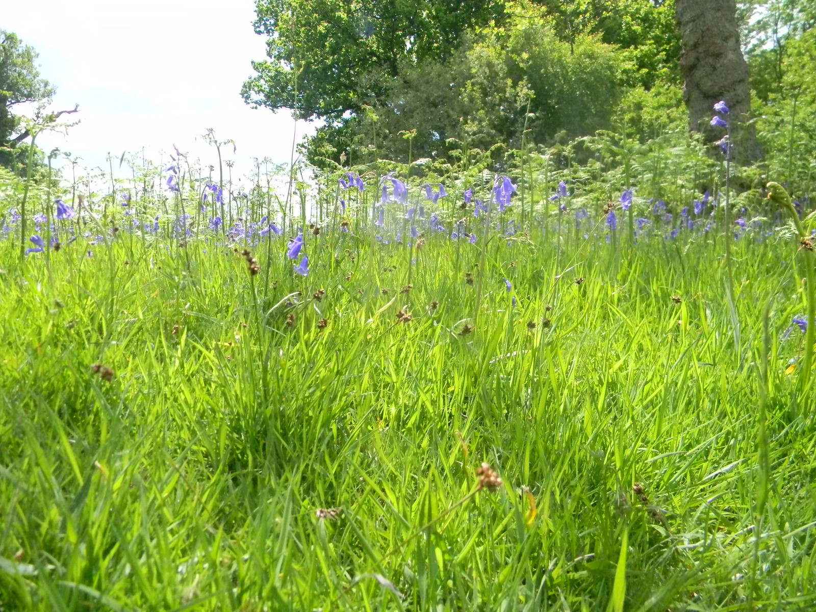 Bluebells in the grass Long Leigh circular Penshurst Place