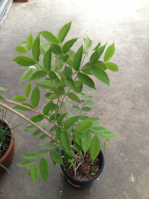 Rauwenhoffia