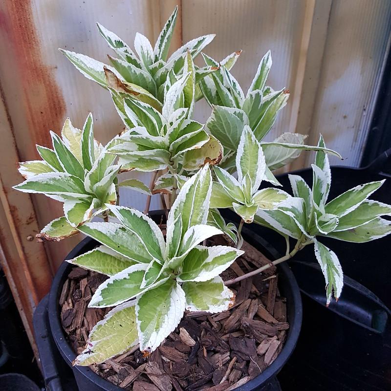 Hydrangea macrophylla 'Tricolor' Potted