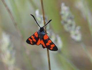 Six-spot Burnet (Zygaena filipendulae)