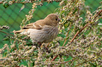Common Rosefinch (K.Webb)