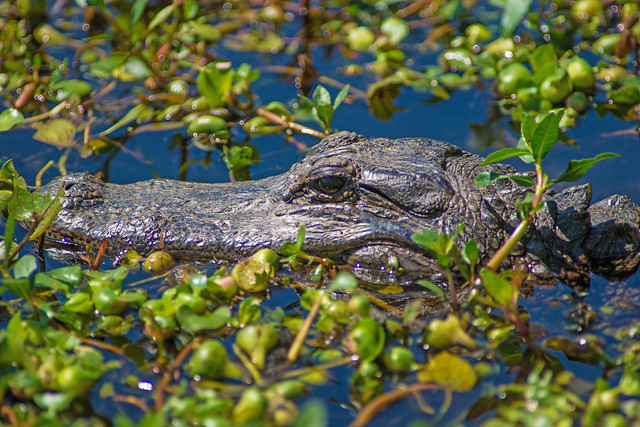 Lurking Gator