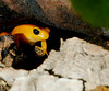 Golden Mantella WLD_6462 by guppiecat
