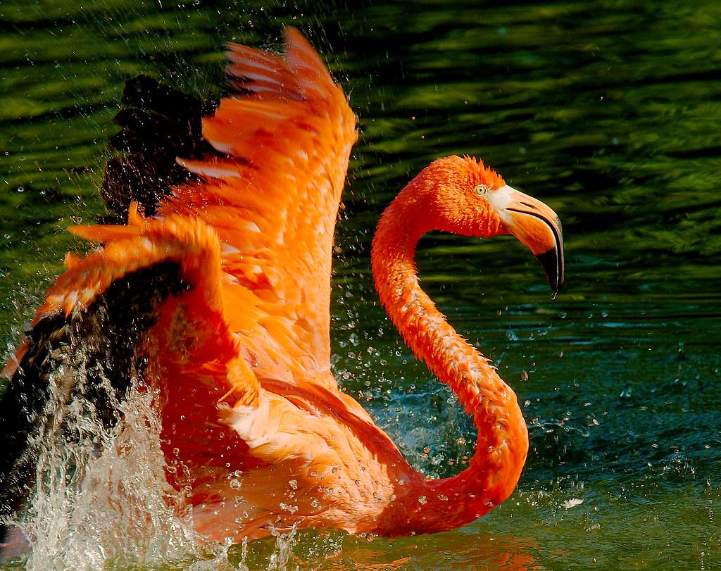 Flamingo_15