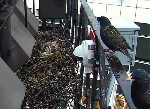 Ezra looks at the starlings