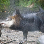 collared peccary, Peccary angulatus,