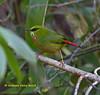 Fire-tailed Myzornis,  Myzornis pyrrhoura,