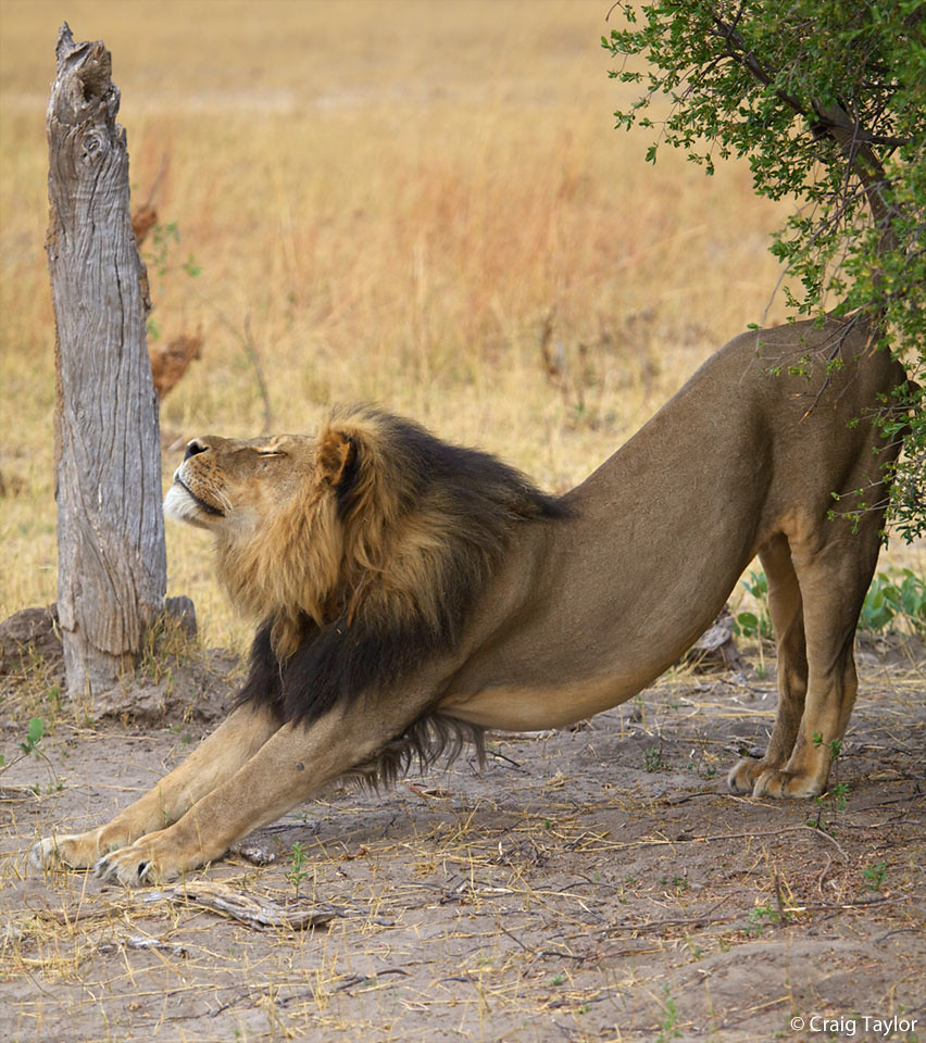 Check out Panthera's lion fact sheet @ bit.ly/119KaDj to learn about the lion's habitat & threats to survival. Learn more about how Panthera is working to ensure a future for this magnificent big cat through Project Leonard @ bit.ly/YbMRFx