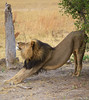 A lion taking a nice long stretch in Davison Camp, Zimbabwe