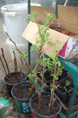 soft fruit cuttings Apr 13