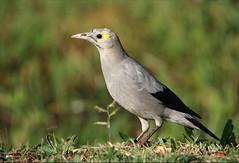 Lelspreeu, Wattled Starling Non-breeding Male