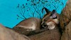 Caracal Dreams