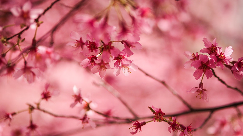 Cherry blossom|Washington D.C.