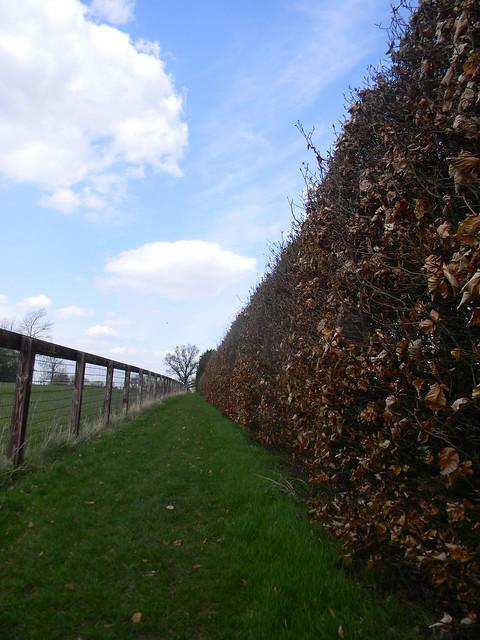 Beech hedge and fence Lofts Hall