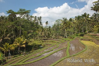 Bali - Rice Terraces