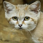 Sand Cat at Smithsonian's National Zoo