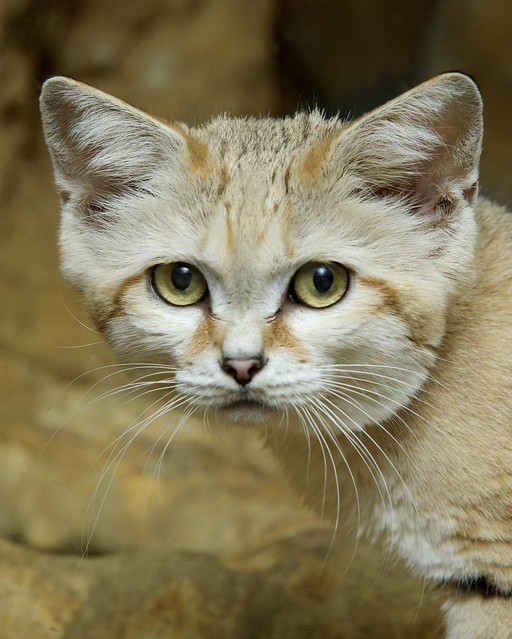 Sand Cat Food Chain