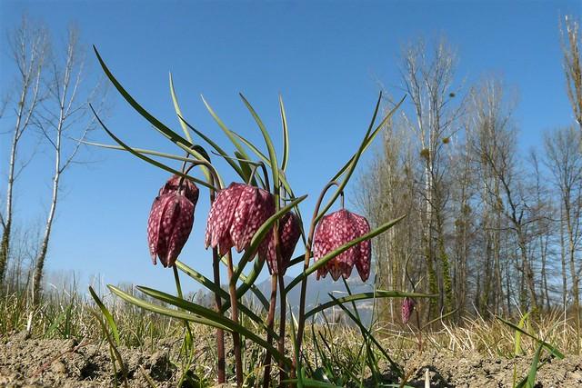 Fritillaire pintade=Fritillaria meleagris