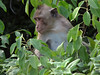 long-tailed-macaque