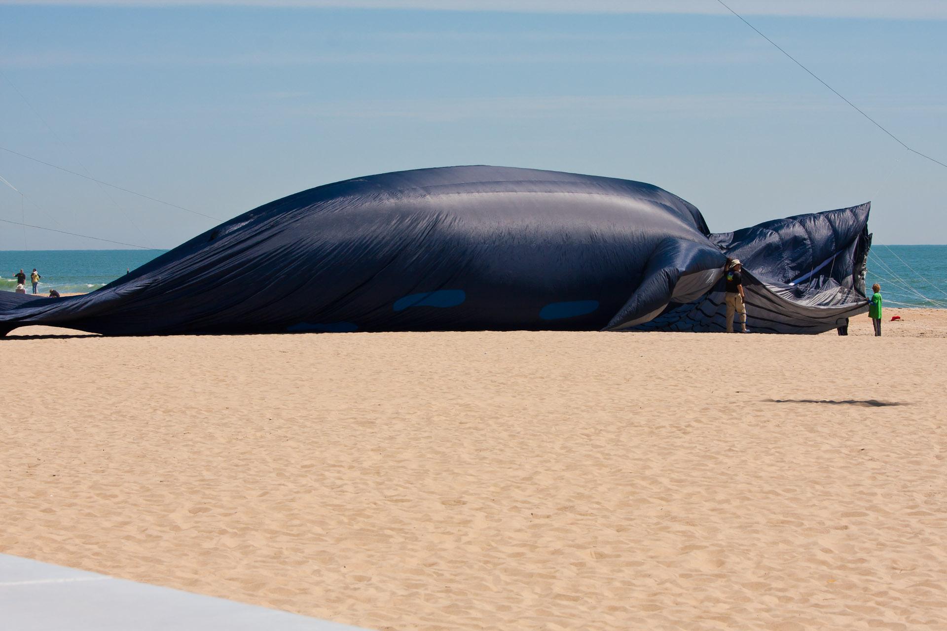Blue whale size comparison to human - photo#12