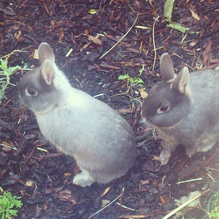 There have not been enough #rabbits on my photo stream so here for your viewingn pleasure are sisters Sophie on the left and Margie on the right #dwarf #bunnies #bunny #instabunny #bunniesofinstagram #grey #nature #pets #pet #animals #cute