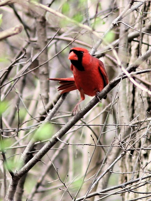 Northern Cardinal 20130430