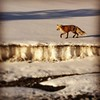 Fox on the run. #spring #critters #wild #yellowstone