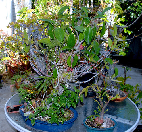 Ficus Bonsai with Epiphytes
