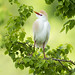 cattle egret by amaw