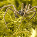 Philodromus dispar by smccann