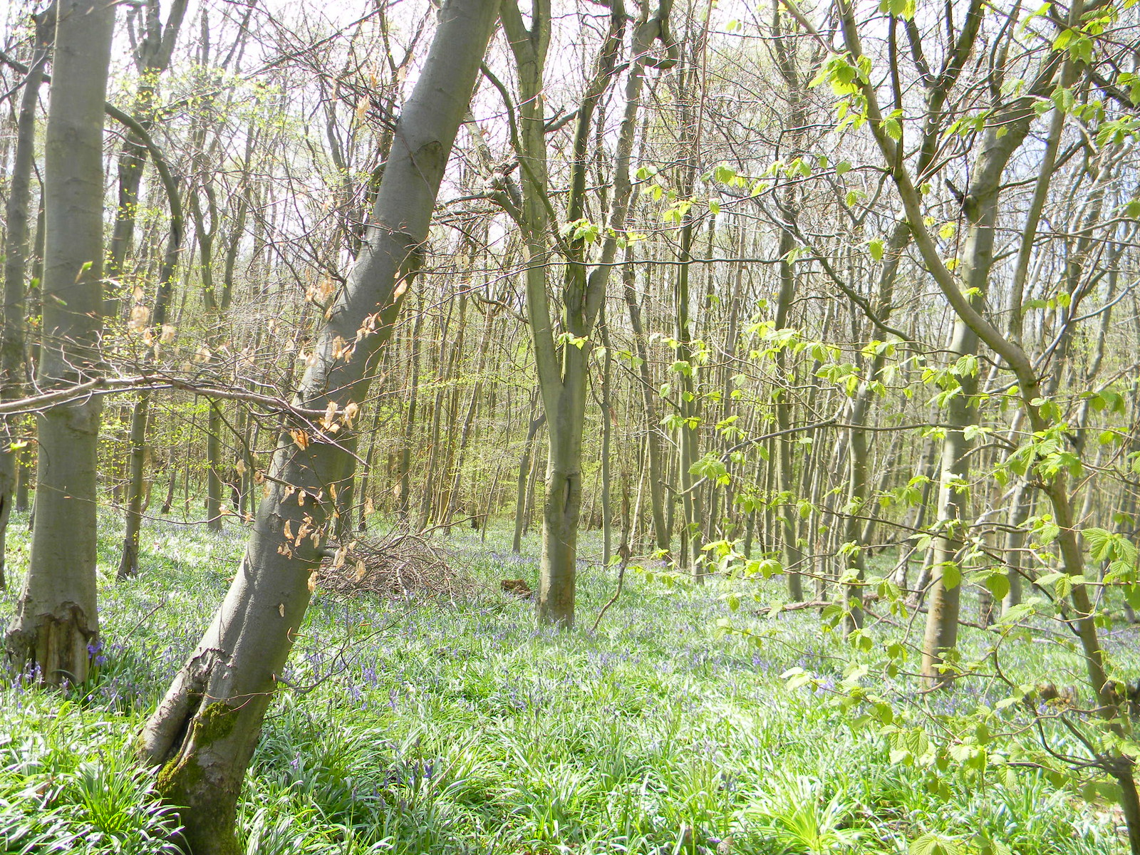 Bluebells almost out Hurst Green to Wetherham