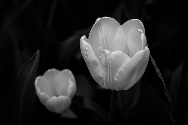 Tulips in Contrast - Copenhagen, Denmark