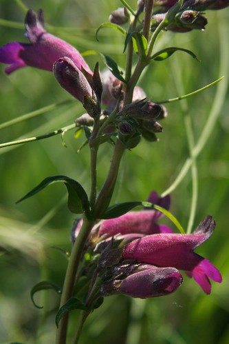 penstemon  3352