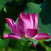 L1060856 Lotus by Rise Liao