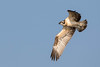 Osprey (Pandion haliaetus) by tmy81