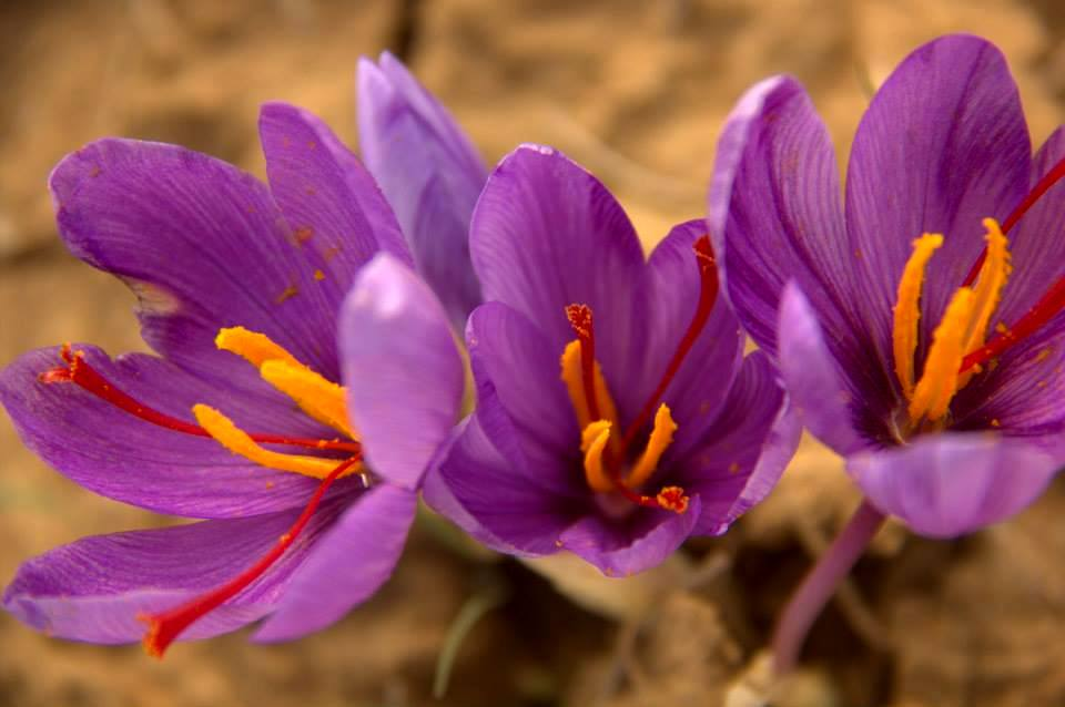 saffron blooms in pampore in october