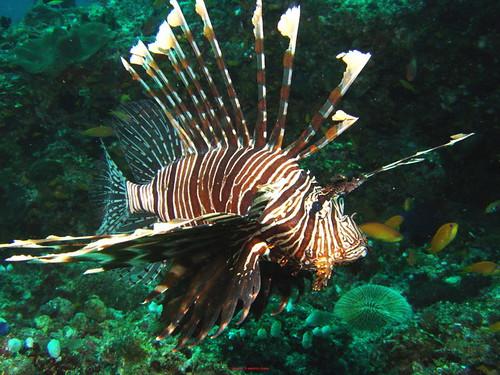 LionFish (1)