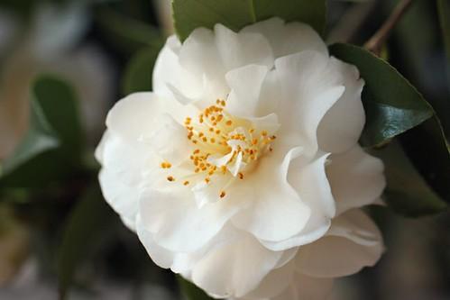 White Camellia 3