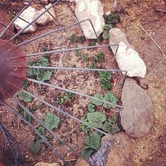 Twice as big! #rhubarb  #garden