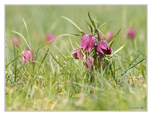 Eigentlich-Schachblume (Fritillaria meleagris)
