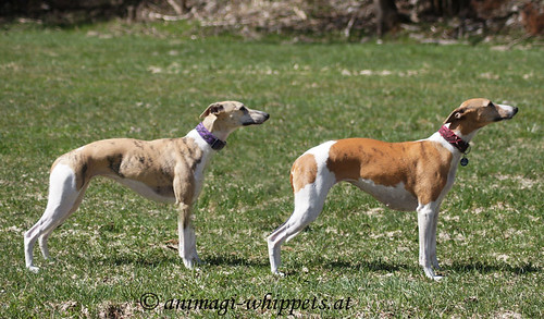Animagi Bewitched Cheetah & Ch. Superfly's IrDA