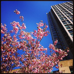 beatty street blossoms #yaletown #vancouver