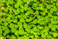 trifolieae(0.0), flower(0.0), clover(0.0), grass(0.0), annual plant(1.0), centella asiatica(1.0), leaf(1.0), yellow(1.0), plant(1.0), green(1.0), centella(1.0), groundcover(1.0),