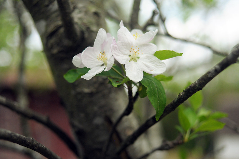 Apple Blooms