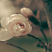 Bloomin' Magnolia